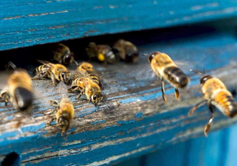 Planche d'envol abeilles